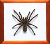 Пауки, скорпионы в рамке