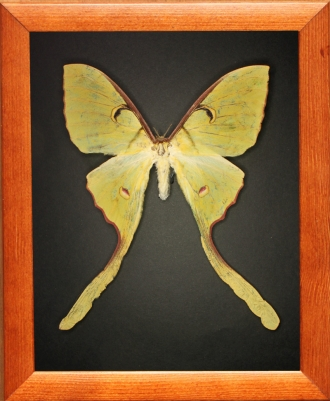 Actias maenas (female)