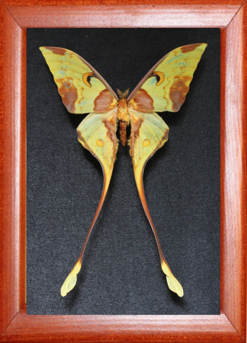 Actias maenas (male)