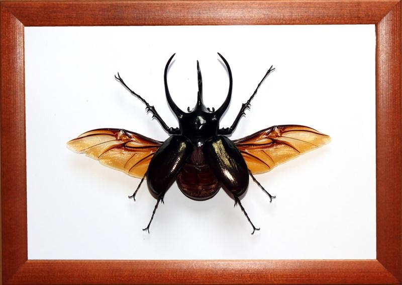 Жук Chalcosoma caucasus