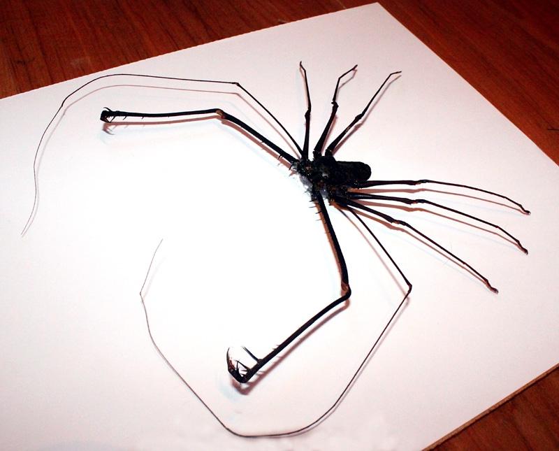 Жгутоногий паук Charon grayi