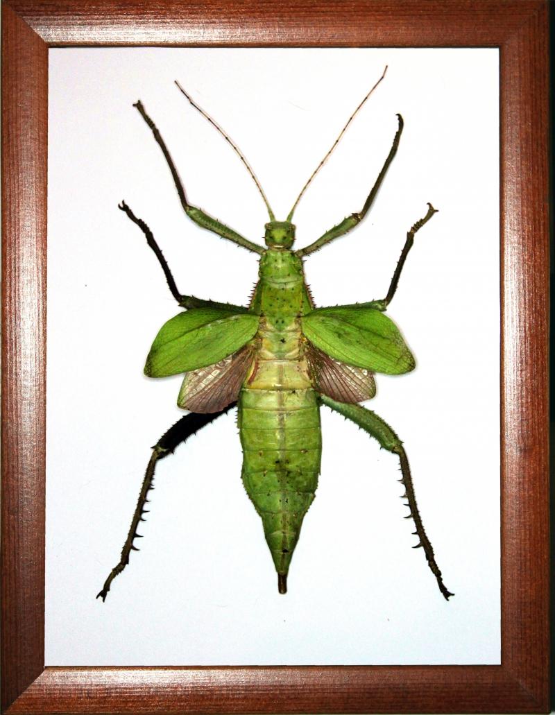 Палочник Heteropteryx dilatata