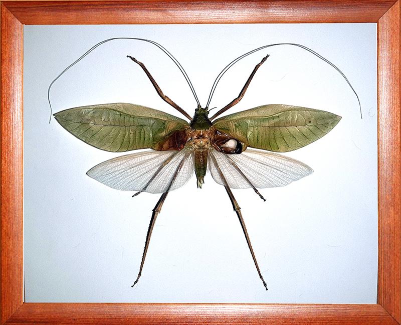 Гигантский кузнечик Macrolyristes corporalis