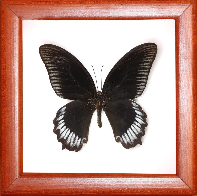 Papilio deiphobus (верхняя сторона)