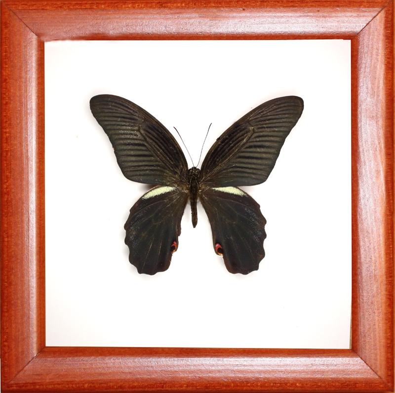 Papilio protenor euproleues (самка)
