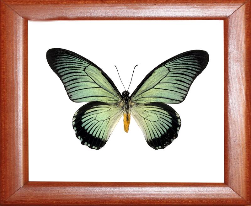 Papilio zalmoxes