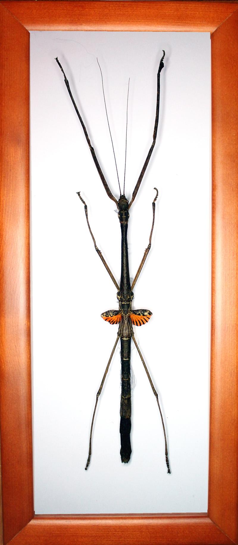 Phaenopharos struthioneus