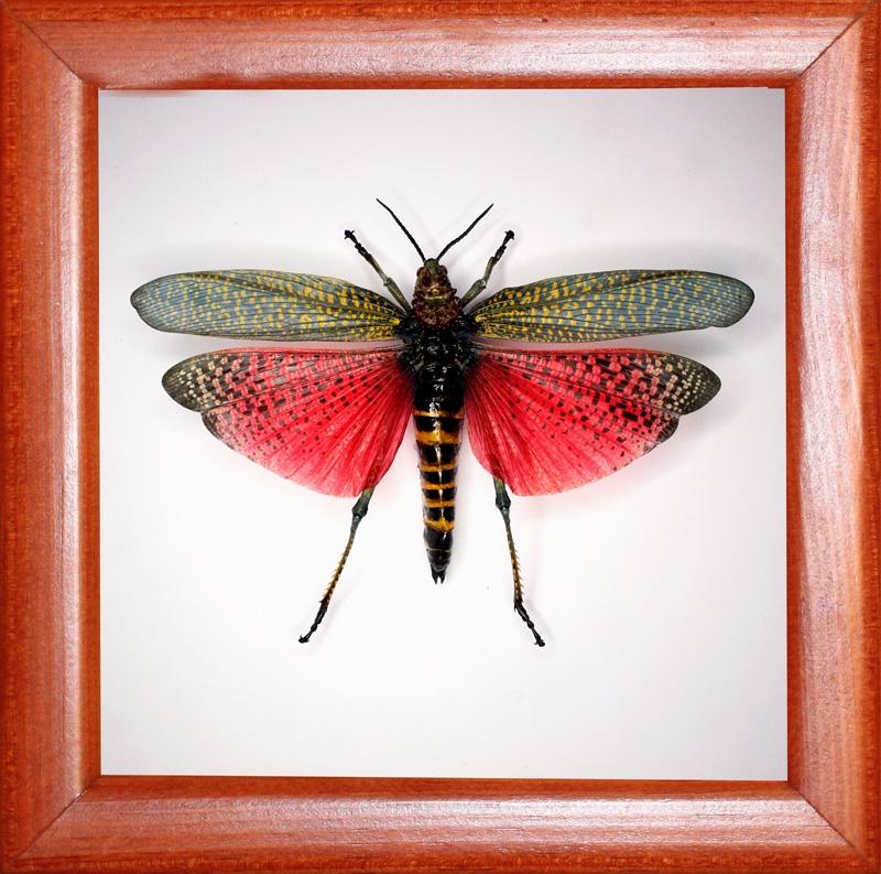 Саранча Phymateus saxosus