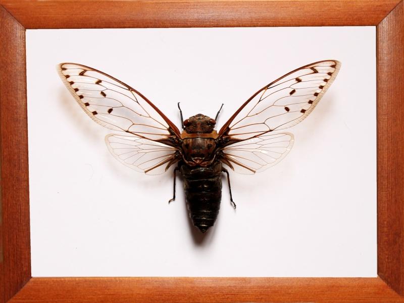 Цикада Pomponia merula