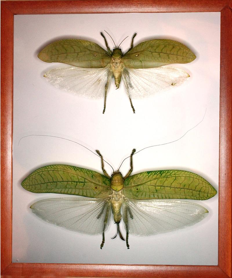 Кузнечик Pseudophyllus hercules