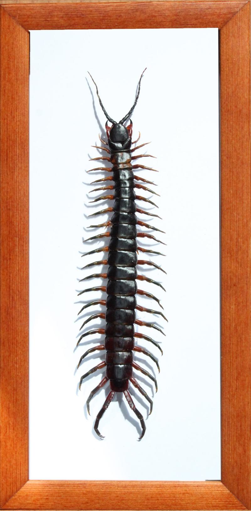 Сколопендра гигантская. Scolopendra gigantea