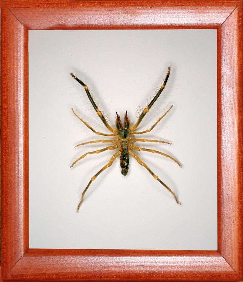 Сольпуга Galeodes araneoides