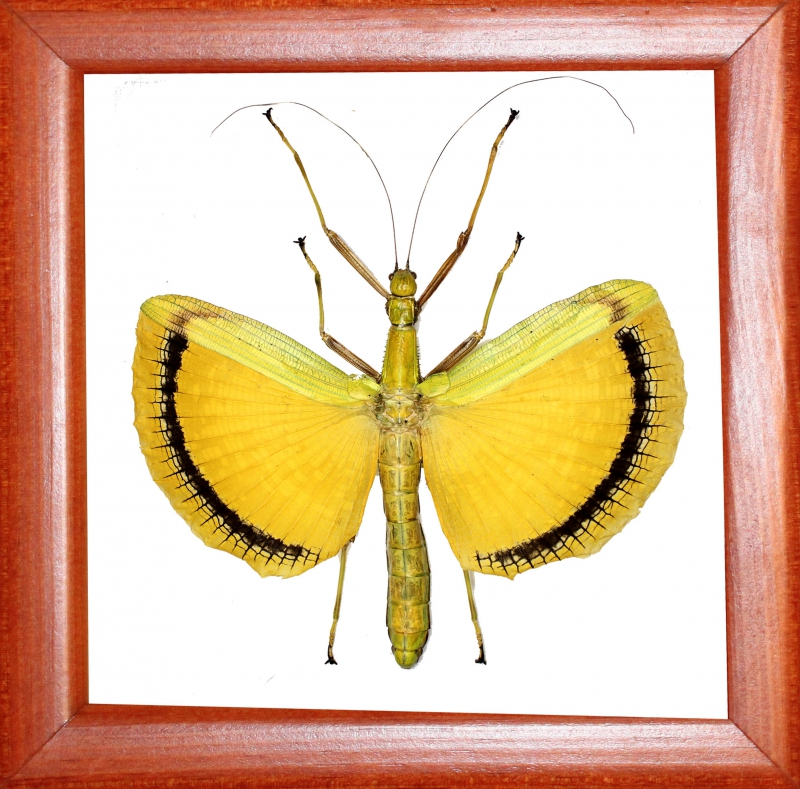 Палочник Tagesoidea nigrofasciata