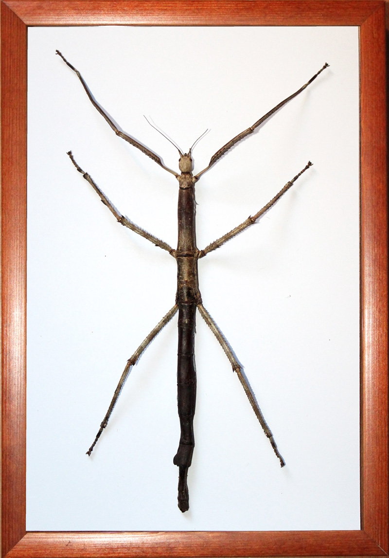 Гигантский палочник Tirachoidea westwoodi