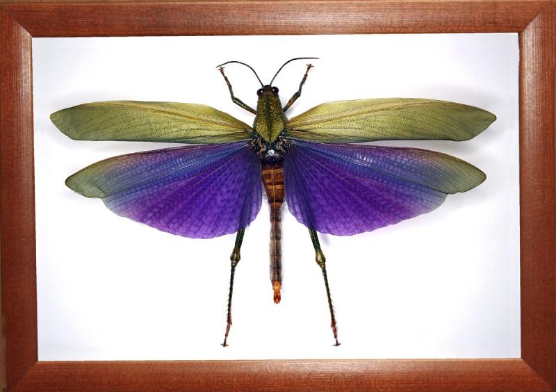 """""""Кузнечик"""" Titanacris albipes"""
