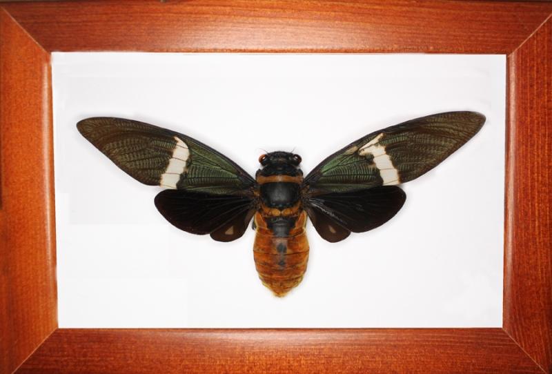 Цикада Tosena fasciata
