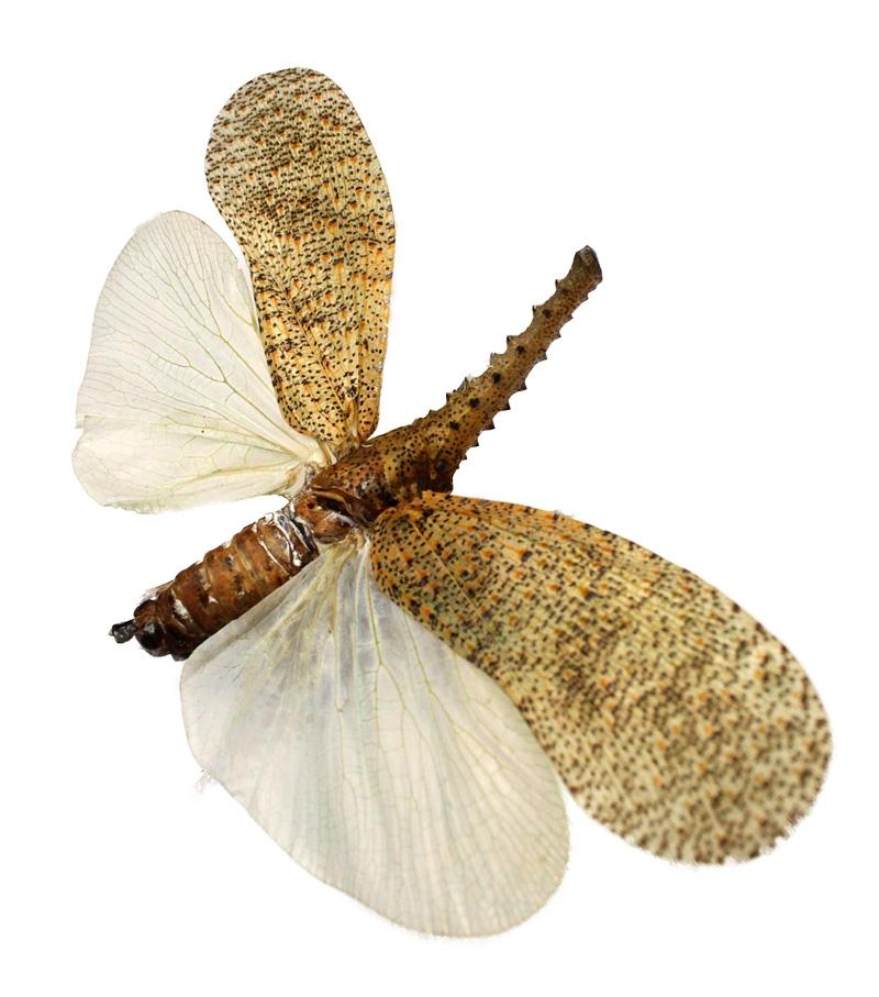 Цикада-фонарница Zanna nobilis