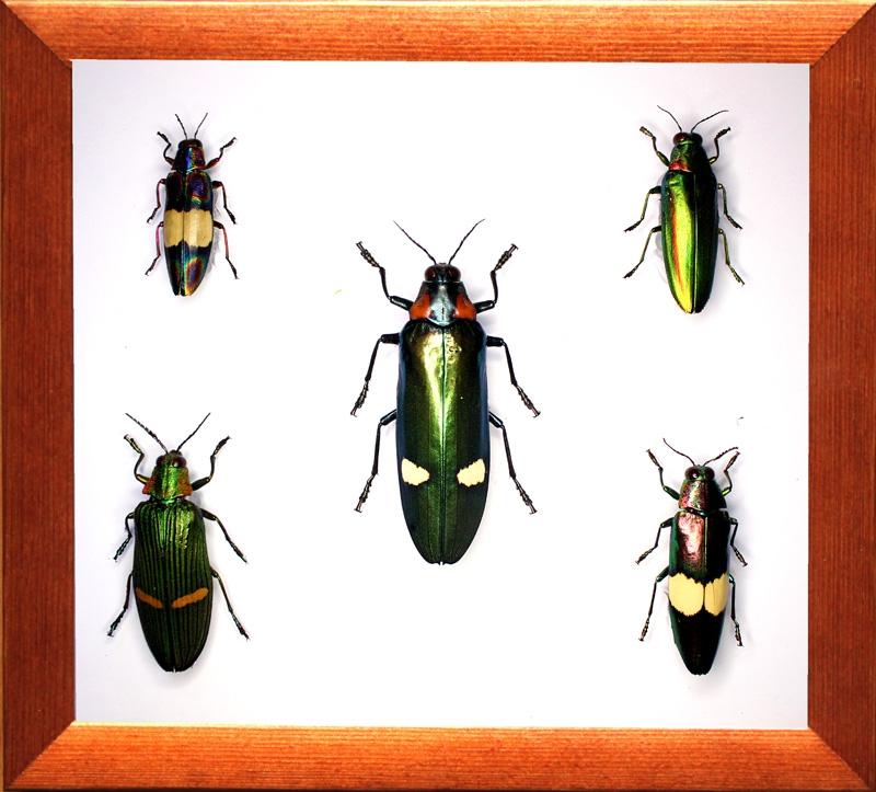 Коллекция жуков златок