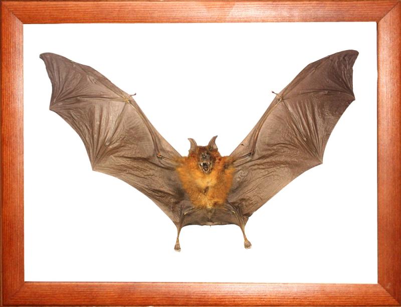 Летучая мышь Hipposideros bicolor