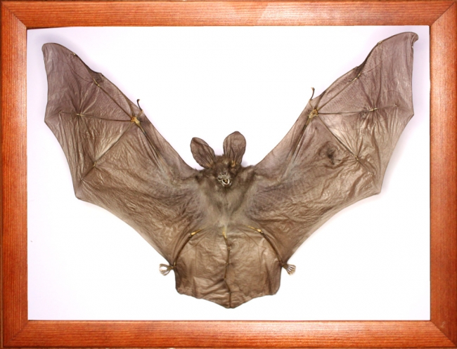 Летучая мышь в рамке (Nycteris javanica)