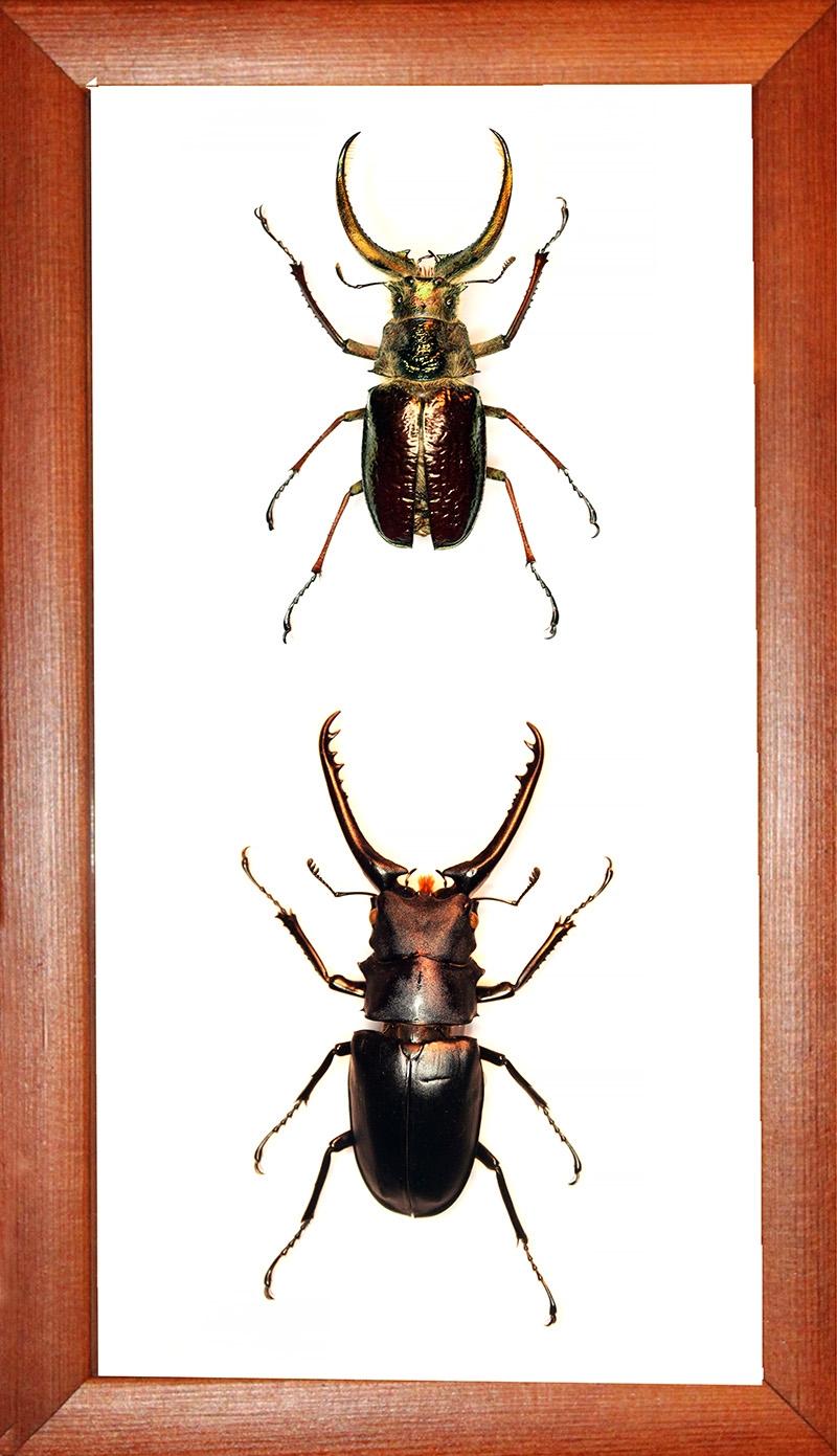 Коллекция жуков рогачей №2