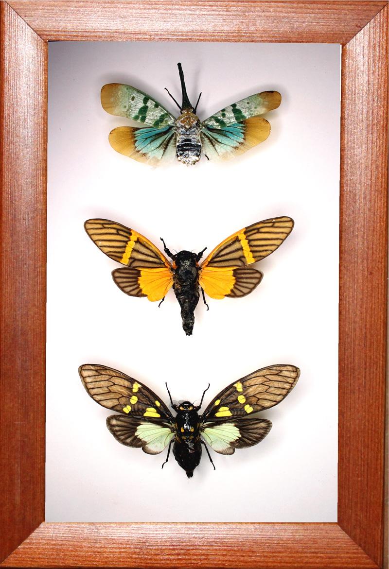 Набор из трех цикад в рамке