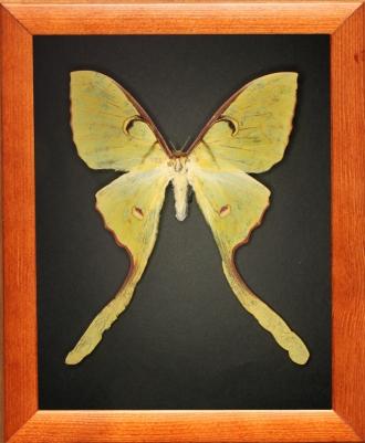 Actias maenas (female)