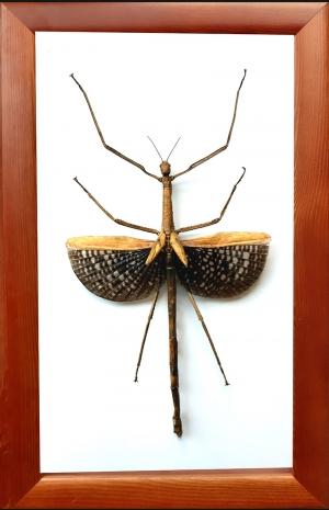 Палочник Anchiale maculata