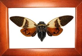 Цикада Anganiana flordula