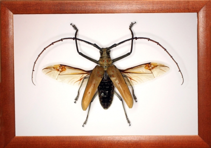 Жук усач Batocera numitor ferruginea