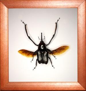 Долгоносик Cyrtotrachelus buqueti