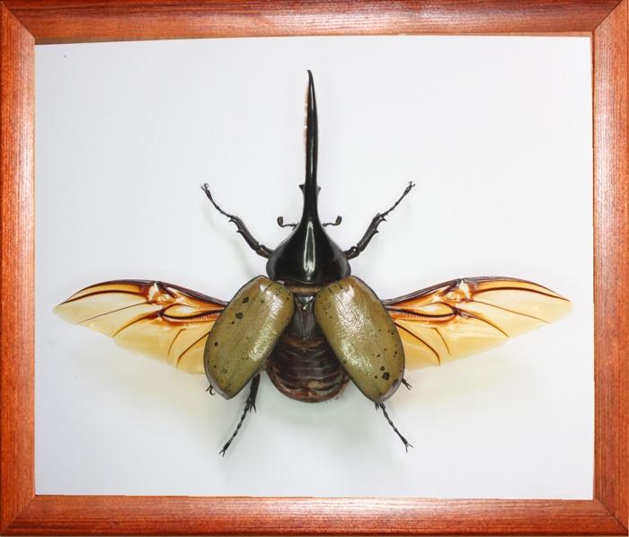 Жук-геркулес Dynastes hercules lichyi