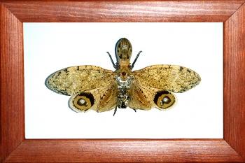 Суринамская цикада Fulgora laternaria