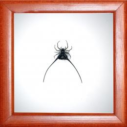 Рогатый паук Gasteracantha arcuata
