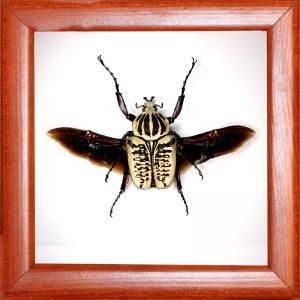 Жук голиаф Goliathus albosignatus kirkianus