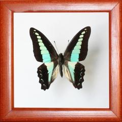 Graphium sarpedon