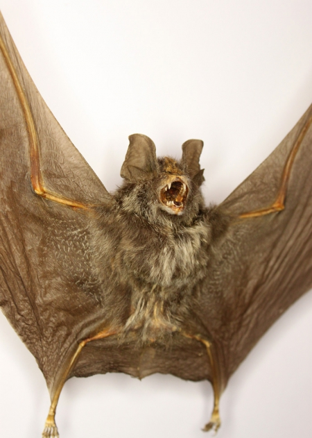 Летучая мышь Rhinolophus luctus