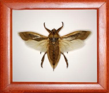 Клоп Lethocerus grandis.