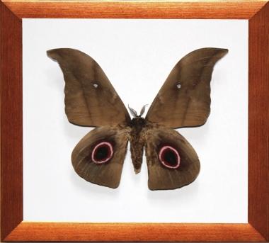 Lobonunaea phaedusa