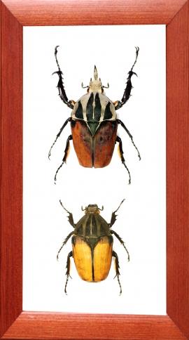 Mecynorrhina oberthuri unicolor (пара)