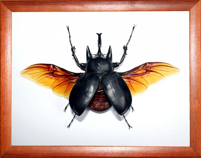 Жук-носорог Megasoma actaeon