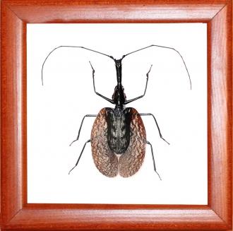 жужелица Mormolyce phyllodes