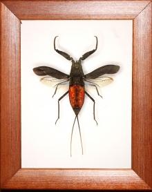 Водный скорпион Nepa sp
