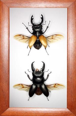 Коллекция рогачей Odontolabis mouhotii_Serrognathus titanus