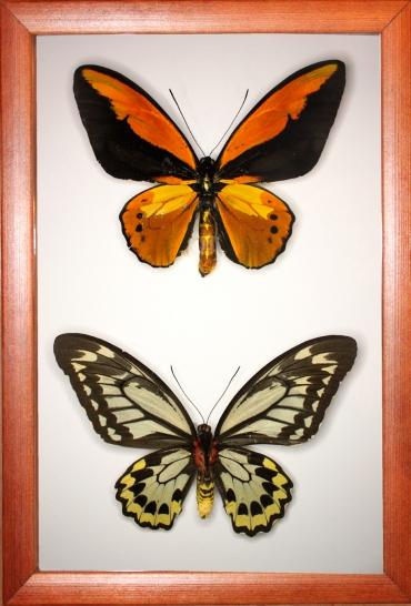 Ornithoptera croesus (самец и самка)