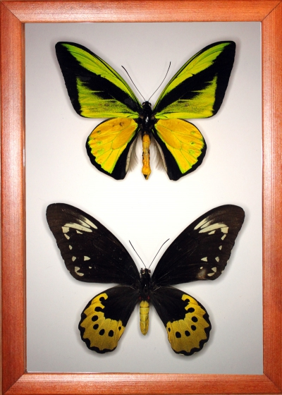 Ornithoptera goliath samson (самец и самка).