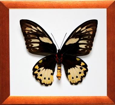 Ornithoptera priamus (Самка)