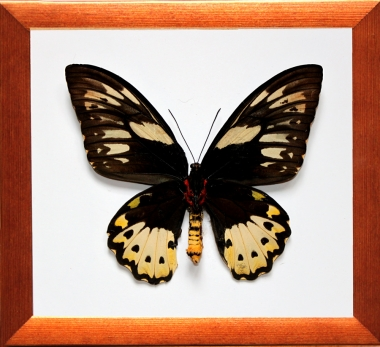 Ornithoptera priamus poseidon (Самка)