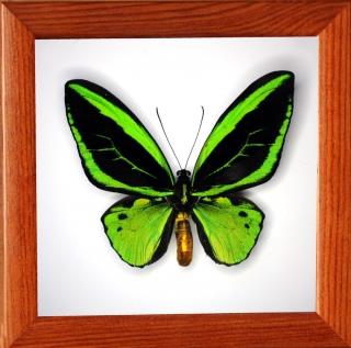Ornithoptera priamus poseidon (самец)