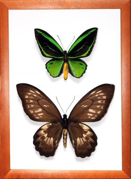Ornithoptera priamus poseidon пара